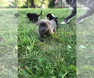 Doberman Pinscher-Texas Heeler Mix Puppy for sale in AVONDALE, MO, USA