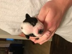 Boston Terrier Puppy For Sale in NORTH CHARLESTON, SC, USA