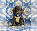 Small Photo #1 Cocker Spaniel-Unknown Mix Puppy For Sale in CHRISTIANA, PA, USA