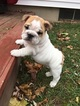 Bulldog Puppy For Sale in GRAND RAPIDS, MI
