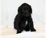 Puppy 3 Golden Newfie