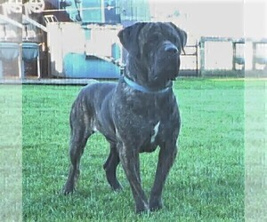Father of the Cane Corso puppies born on 08/30/2020