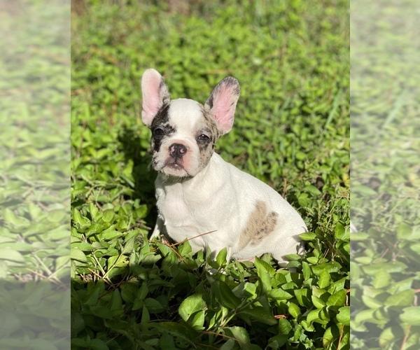 Medium Photo #3 French Bulldog Puppy For Sale in JACKSONVILLE, FL, USA