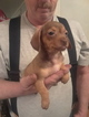Chiweenie Puppy For Sale in YAKIMA, WA, USA
