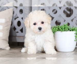 Poochon Puppy for Sale in MOUNT VERNON, Ohio USA