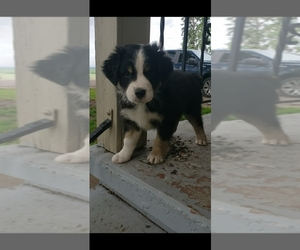 Australian Shepherd Puppy for sale in COVE, OR, USA