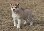 Siberian Husky Puppy For Sale in CLEMENTS, Maryland,