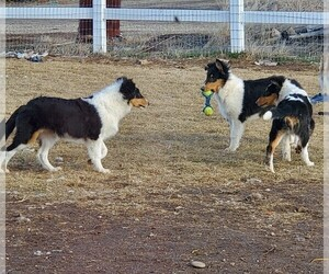 Collie Puppy for sale in KUNA, ID, USA