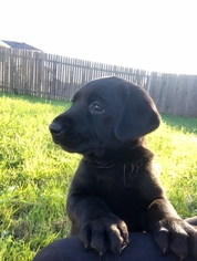 Labrador Retriever Puppy For Sale in KYLE, TX