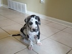 Great Dane Puppy For Sale in MEMPHIS, TN, USA