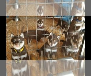 Siberian Husky Puppy for Sale in SUISUN CITY, California USA