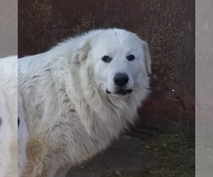 Father of the Great Pyrenees puppies born on 06/18/2021