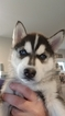 Siberian Husky Puppy For Sale in TROY, Illinois,