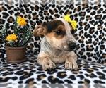 Small #1 Australian Cattle Dog-Jack Russell Terrier Mix