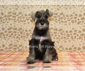 Schnauzer (Miniature) Puppy for Sale in DENVER, Pennsylvania USA