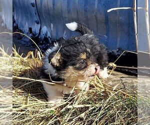 Bichon Frise-Pembroke Welsh Corgi Mix Puppy for sale in AINSWORTH, NE, USA