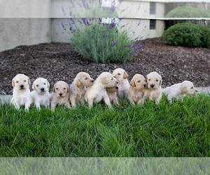 Goldendoodle Puppy for sale in COLDWATER, OH, USA