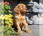 Small #3 Labradoodle-Poodle (Standard) Mix
