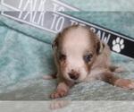 Puppy 10 Australian Shepherd