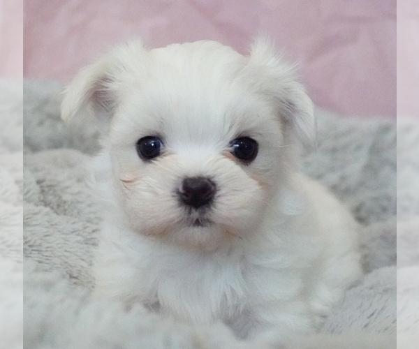 View Ad: Maltese Puppy for Sale near Belgium