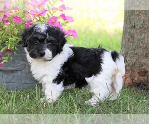 Havanese Dog for Adoption in FREDERICKSBG, Ohio USA