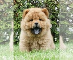Puppy 5 Chow Chow