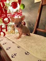 Chihuahua Puppy For Sale in LONDON, KY