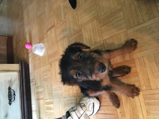 Airedale Terrier Puppy For Sale in HOLLY SPRINGS, MS, USA