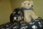 Yo-Chon Puppy For Sale in PATERSON, NJ, USA