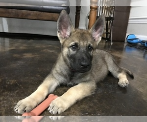 German Shepherd Dog Puppy for sale in ROSHARON, TX, USA