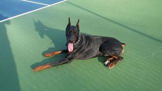 Doberman Pinscher Puppy For Sale in CARTERSVILLE, GA, USA