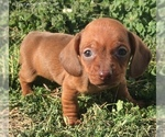 Small #7 Dachshund