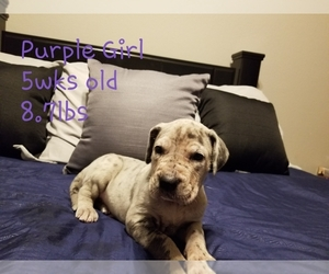 Great Dane Puppy for sale in CANYON, TX, USA