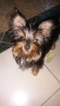 Yorkshire Terrier Puppy For Sale in WEST PALM BEACH, FL, USA