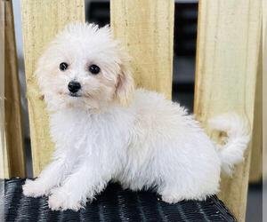 Bichpoo Puppy for sale in CINCINNATI, OH, USA