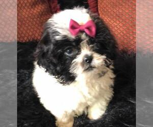 Shih Tzu Puppy for sale in KATY, TX, USA