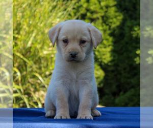 Labrador Retriever Puppy for sale in GORDONVILLE, PA, USA