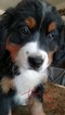 Bernese Mountain Dog Puppy For Sale in AUGUSTA, West Virginia,