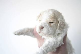 Lagotto Romagnolo Puppy For Sale in FLUSHING, NY