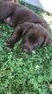 Labrador Retriever Puppy For Sale in MARCELINE, MO