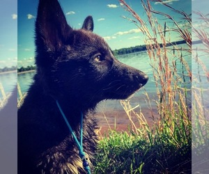 Wolf Hybrid Puppy for Sale in WASHINGTON, New Jersey USA