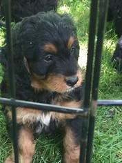 Miniature Bernedoodle Puppy for sale in ARCHBOLD, OH, USA