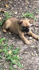 Brussels Griffon Puppy for sale in ABILENE, TX, USA