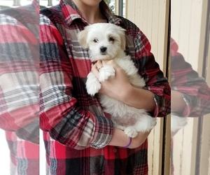 Coton de Tulear Puppy for Sale in HUNTINGTN BCH, California USA