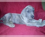 Full blooded Great danes blue brindle and more