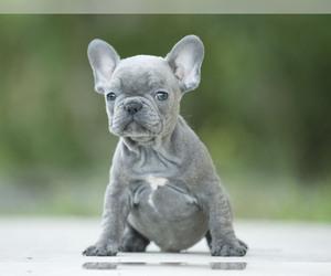 French Bulldog Puppy for sale in LOX, FL, USA