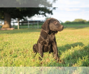 Labrador Retriever Puppy for Sale in SARCOXIE, Missouri USA