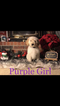 Goldendoodle Puppy For Sale in AMARILLO, Texas,