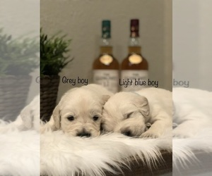Golden Retriever Puppy for Sale in ANAHEIM, California USA