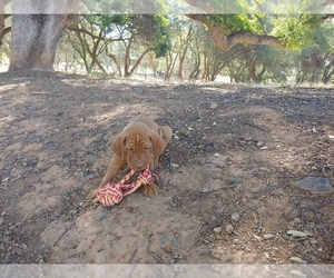 Vizsla Puppy for sale in PLYMOUTH, CA, USA